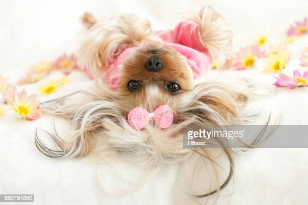 yorkie wearing pajamas lying down on her back looking at camera - hair bow stock pictures, royalty-free photos & images