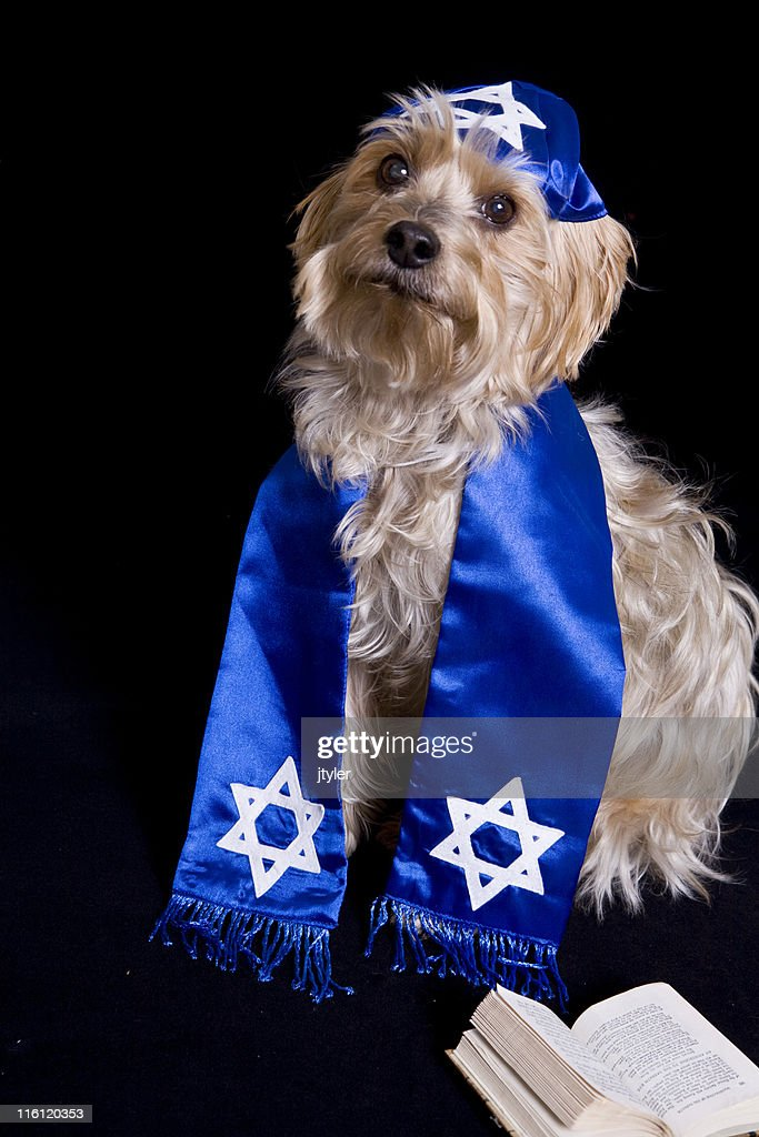 Yorkie with a Yarmulke : Stock Photo