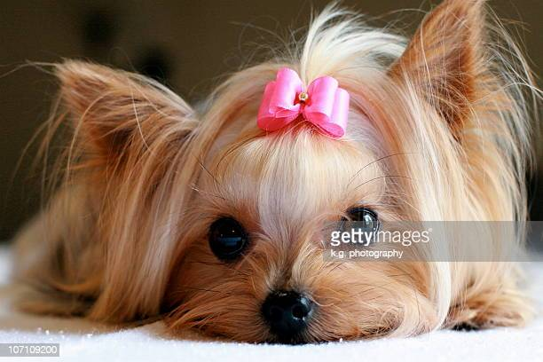 yorkie with pink hair bow - hair bow stock pictures, royalty-free photos & images