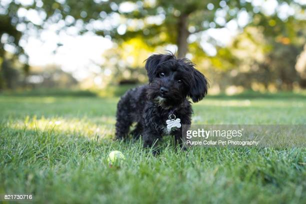 Yorkipoo Dog Standing Outdoors with Tennis Ball