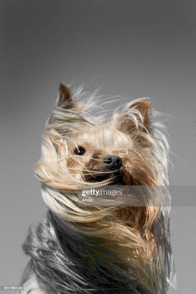 Yorkshire dog, head in the wind.