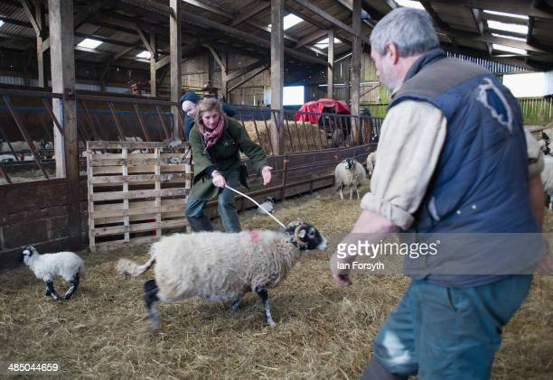 Yorkshire Shepherdess Amanda Owen and her husband Clive sort out some of the new born lambs prior to giving them health checks on April 15 2014 near...
