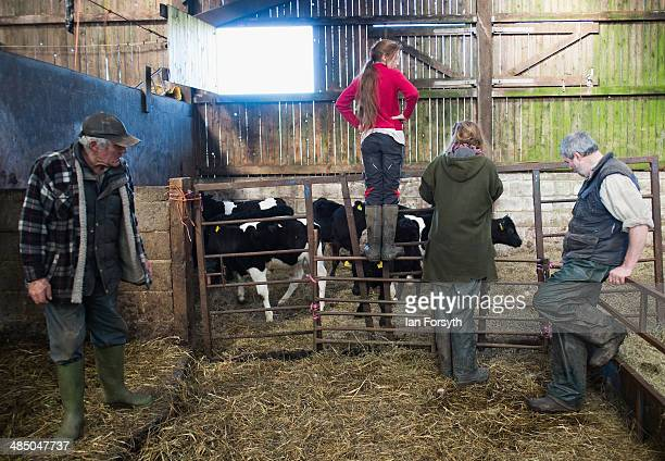 Yorkshire Shepherdess Amanda Owen checks on new calves that are about to be allowed outside for the first time on April 15 2014 near Kirkby Stephen...