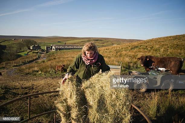 Yorkshire Shepherdess Amanda Owen feeds her cattle on April 15 2014 near Kirkby Stephen England Amanda Owen runs a 2000 acre working hill farm in...