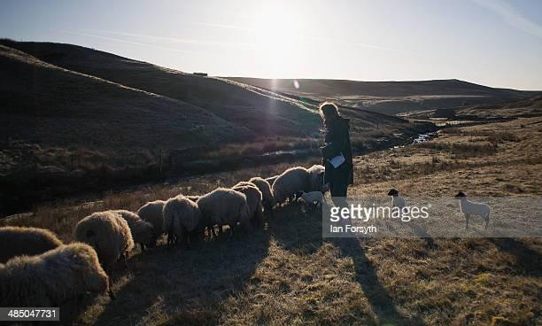 Yorkshire shepherdess Amanda Owen feeds her sheep as the sun rises over the moors on April 15 2014 near Kirkby Stephen England Amanda Owen runs a...
