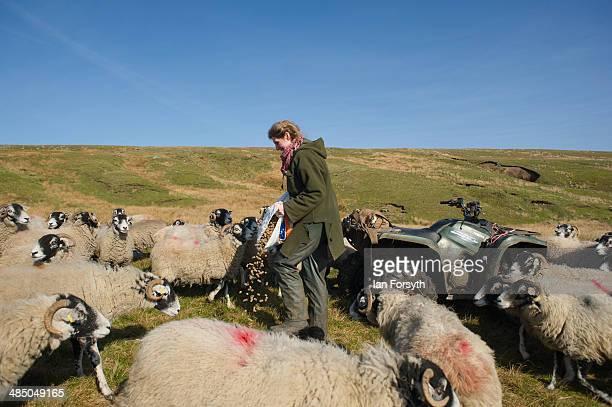 Yorkshire Shepherdess Amanda Owen feeds some of her sheep on April 15, 2014 near Kirkby Stephen, England. Amanda Owen runs a 2,000 acre working hill...