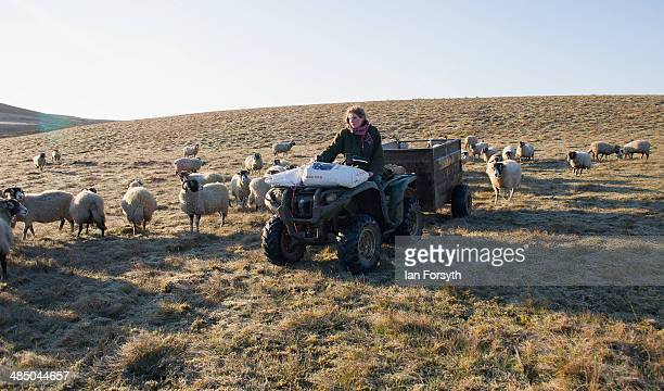 Yorkshire shepherdess Amanda Owen heads out over the frost covered moors to feed her Swaledale sheep on April 15 2014 near Kirkby Stephen England...
