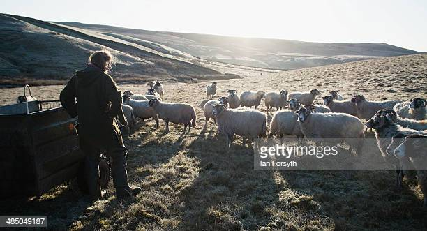 Yorkshire shepherdess Amanda Owen heads out over the frost covered moors to feed her Swaledale sheep on April 15, 2014 near Kirkby Stephen, England....