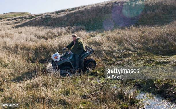 Yorkshire Shepherdess Amanda Owen rides her quad bike through marshy ground as she heads out to check her sheep on April 15 2014 near Kirkby Stephen...