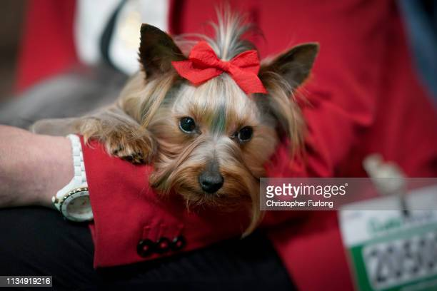 Yorkshire Terrier and its owner wait to go in the ring on the fourth day of Crufts Dog Show at National Exhibition Centre on March 10, 2019 in...