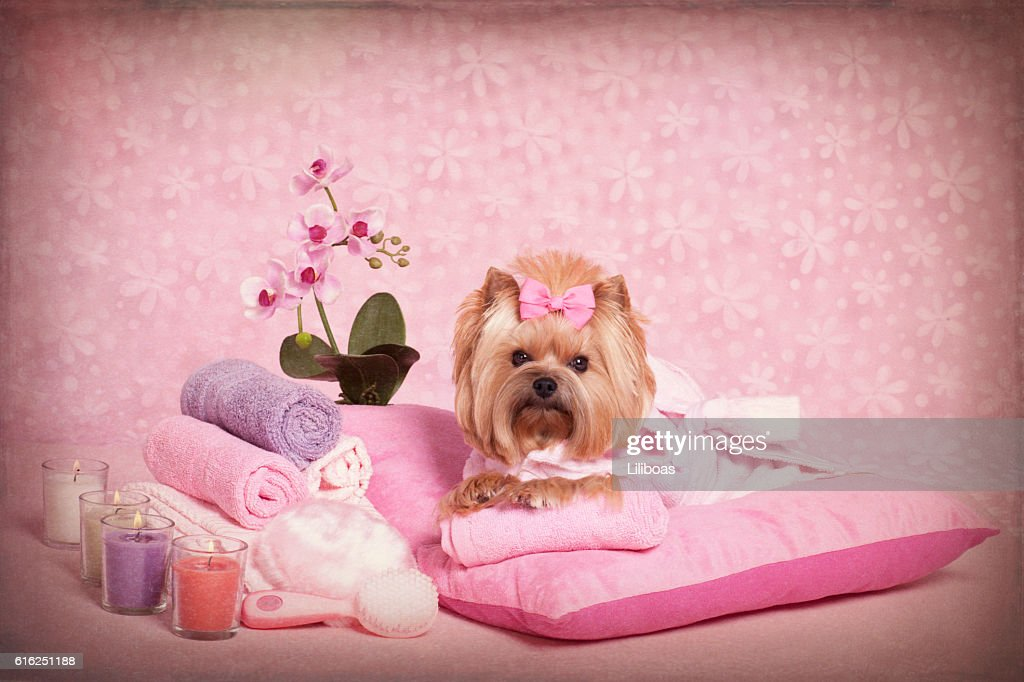 Yorkshire Terrier at the Pet Grooming Salon Spa : Stock Photo