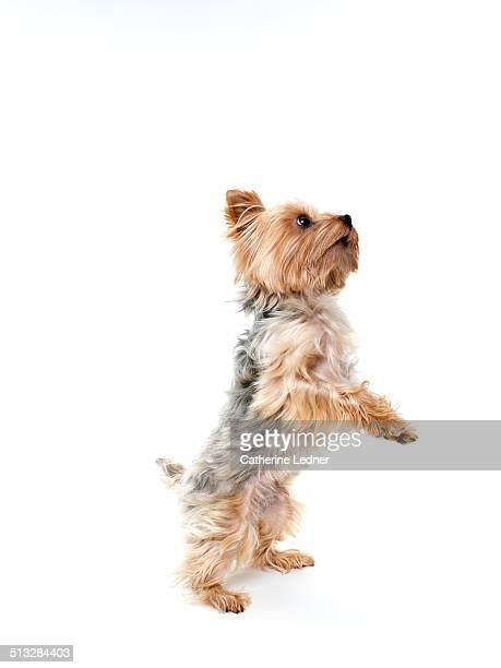 Yorkshire Terrier Dancing in Studio