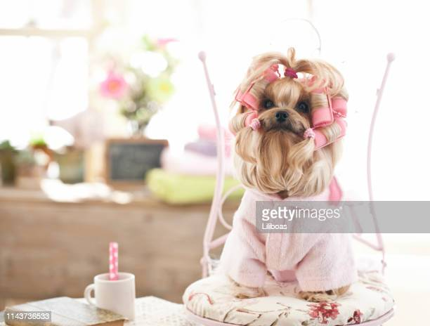 yorkshire terrier dog at the grooming salon - animal costume stock pictures, royalty-free photos & images