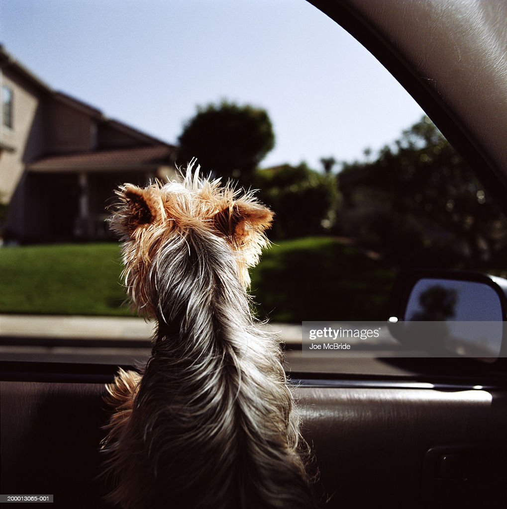 Yorkshire Terrier dog looking out car window, rear view : Stock Photo