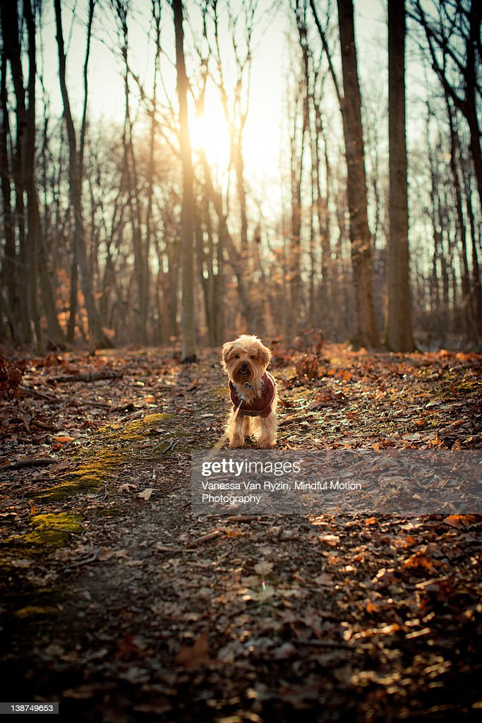 Yorkshire terrier dog on leash on walk in wood : Stock Photo