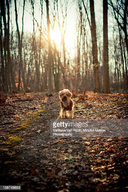 yorkshire terrier dog on leash on walk in wood - vanessa van ryzin stockfoto's en -beelden
