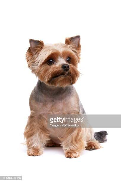 yorkshire terrier dog on white background - cute stock pictures, royalty-free photos & images