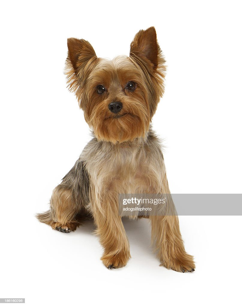 yorkshire terrier white yorkshire terrier dog on white stock photo getty images 4409