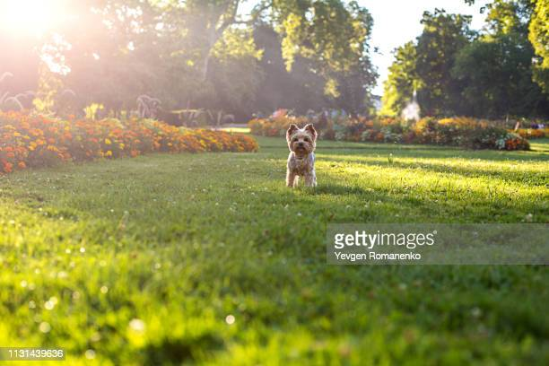 yorkshire terrier dog running on the green grass - domestic garden stock pictures, royalty-free photos & images