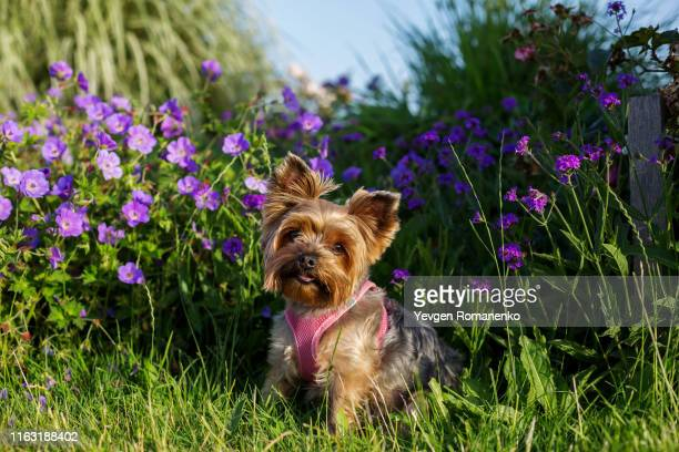 yorkshire terrier dog sitting on the meadow - yorkshire terrier stock pictures, royalty-free photos & images