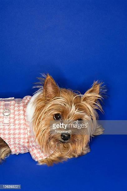 Yorkshire Terrier dog wearing outfit.