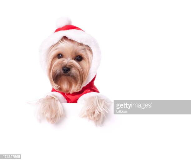 Yorkshire Terrier dressed up for Christmas