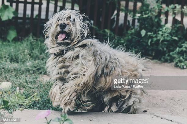 Yorkshire Terrier Fluffy Haired Dog On Lawn