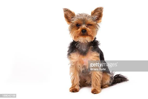 Yorkshire Terrier give a wink to her friends!