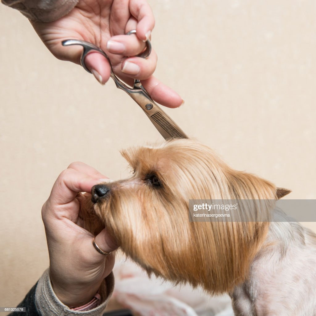 Yorkshire Terrier Grooming Blowdrying Stock Photo Getty Images