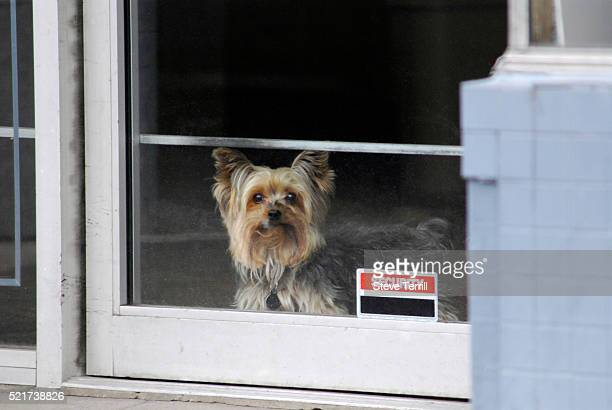 yorkshire terrier guarding business entrance - lap dog stock pictures, royalty-free photos & images