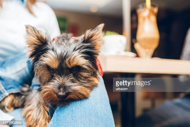 yorkshire terrier in womans lap - yorkshire terrier stock pictures, royalty-free photos & images