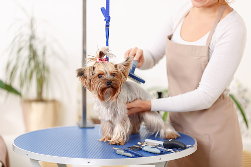 Yorkshire terrier is being brushed by groomer 495016554