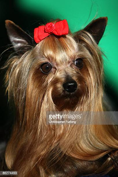 Yorkshire Terrier is groomed for judging on day two of the annual Crufts dog show at the National Exhibition Centre on March 6 2009 in Birmingham...