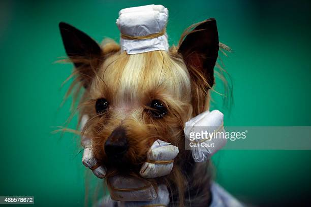 Yorkshire Terrier is pictured on the fourth and final day of Crufts dog show at the National Exhibition Centre on March 8 2015 in Birmingham England...