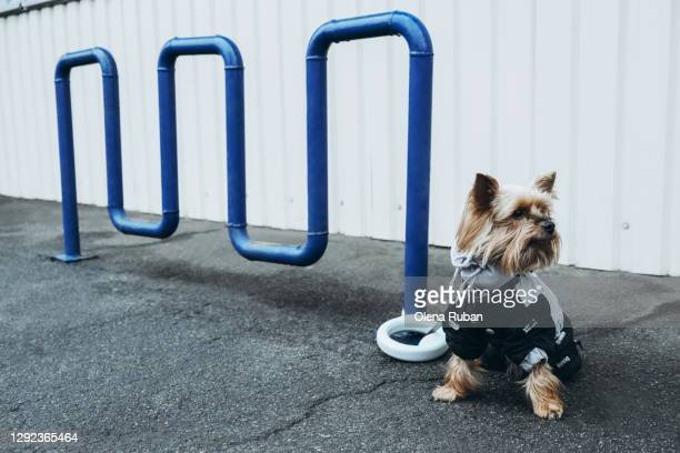 yorkshire terrier is tied to pipes near the store - york yorkshire stock pictures, royalty-free photos & images