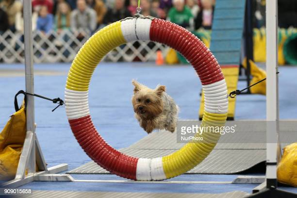 A Yorkshire Terrier jumps through a ring during the Michigan Winter Dog Classic show at Suburban Showcase Collection in Novi in Michigan USA on...
