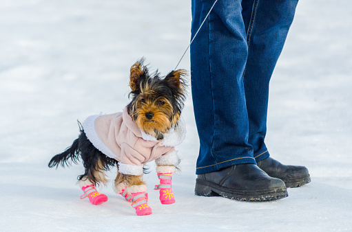 Yorkshire Terrier little dog and its owner, snow winter background. Small, cute doggy in suit with pink boots. Copy space 1167048300