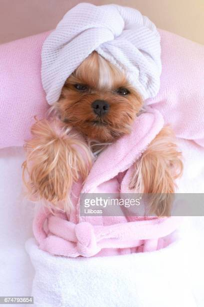 yorkshire terrier lying down relaxing at the pet grooming salon - grooming product stock photos and pictures