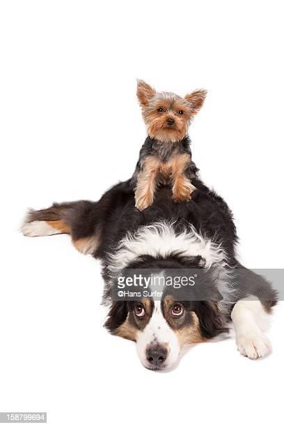 Yorkshire Terrier on top of Australian Shepherd