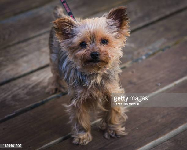 yorkshire terrier - yorkshire terrier stock pictures, royalty-free photos & images