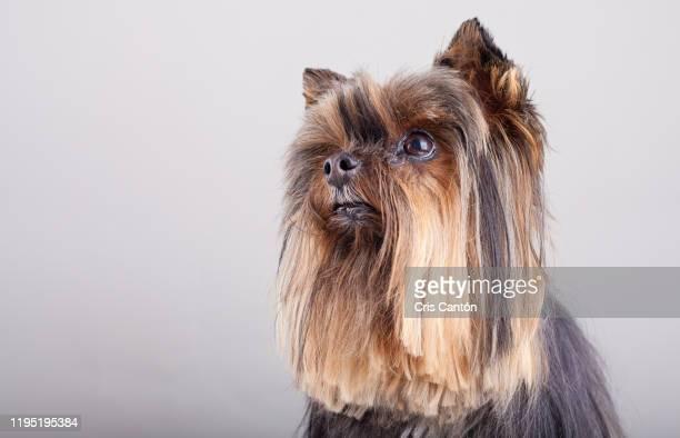 yorkshire terrier - cris cantón photography fotografías e imágenes de stock