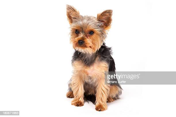 Yorkshire Terrier Stock Photos And Pictures Getty Images