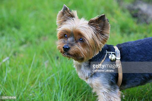 yorkshire terrier. - yorkshire terrier stock pictures, royalty-free photos & images