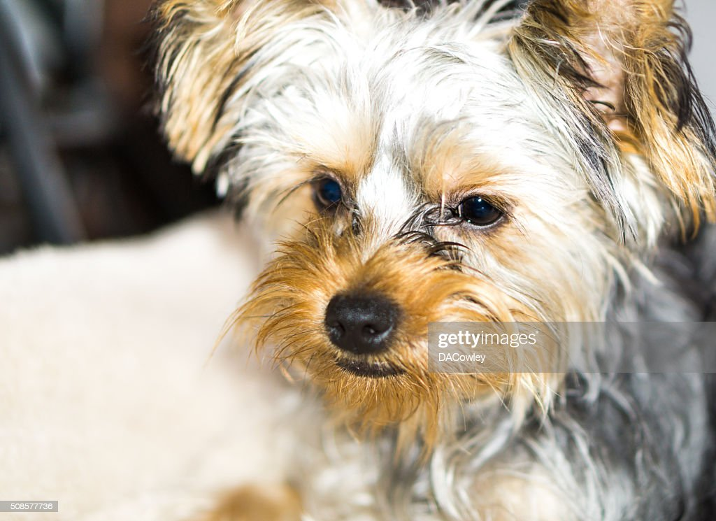 Yorkshire Terrier Portrait : Stock Photo