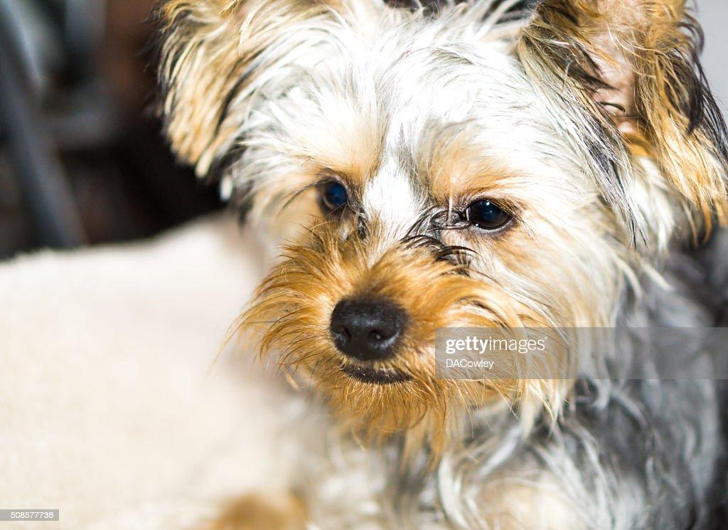 Yorkshire Terrier Portrait : Bildbanksbilder