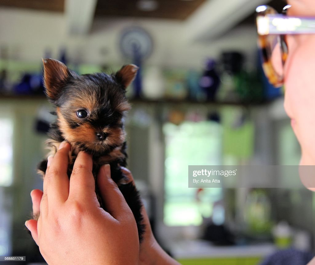 Yorkshire terrier puppy looking at owner : Stock Photo