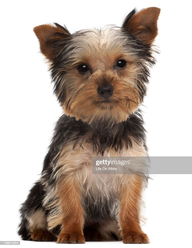 Yorkshire Terrier puppy (4 months old) : Stock Photo
