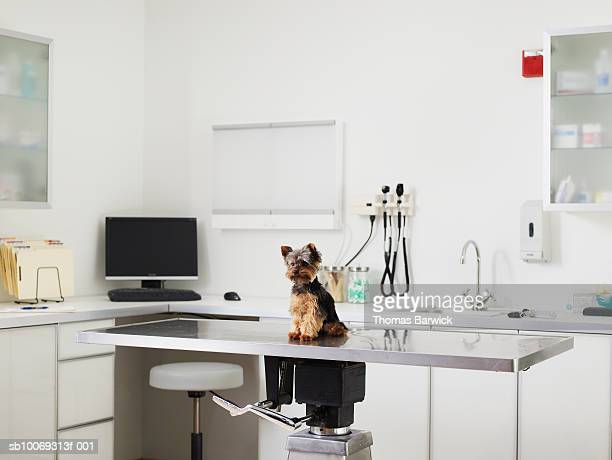 Yorkshire terrier puppy sitting on exam table in veterinarian exam room