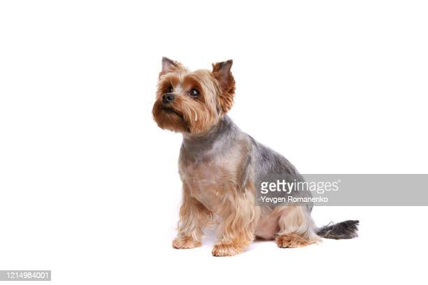 yorkshire terrier puppy sitting on white background - dog show stock pictures, royalty-free photos & images