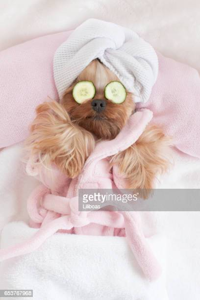 yorkshire terrier relaxing at the dog grooming spa - cucumber stock pictures, royalty-free photos & images